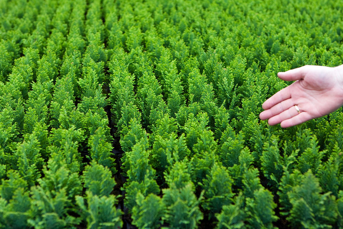 European Plants kweekt vooral coniferen.