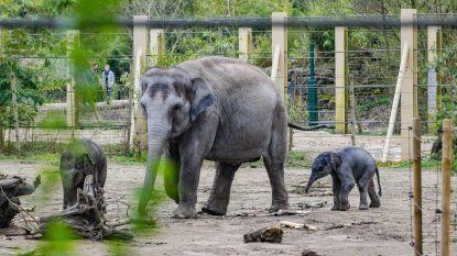 Derde baby-olifantje voor Planckendael (maar nu is het gedaan)