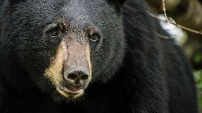 Jager in kritieke toestand nadat de beer die hij net doodschoot recht op hem valt