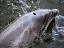 Zeilschip loodst dolfijn die in haven Amsterdam was gestrand, terug naar zee