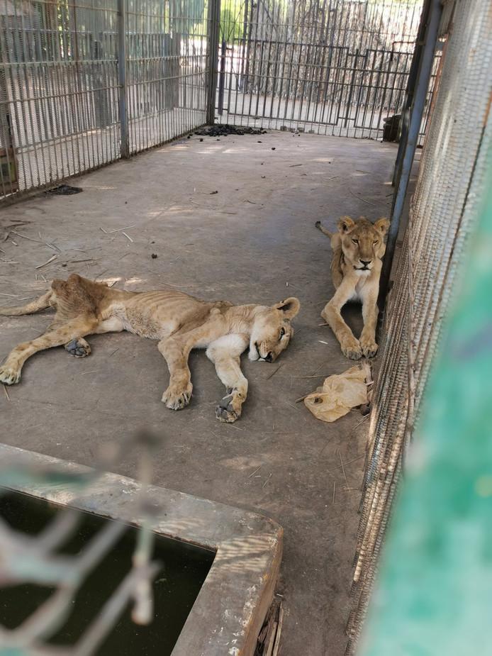 De meeste leeuwen zijn er ernstig aan toe.