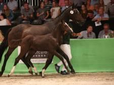 Belg koopt veulen voor recordprijs van 46.000 euro in Lichtenvoorde