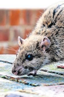 Rat rukt op in de regio en het wordt de komende jaren nóg erger: dit kun je er nog tegen doen
