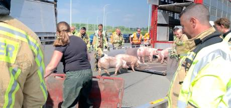 Vrachtwagen met 187 varkens gekanteld op E40 in Oostkamp: snelweg intussen opnieuw open