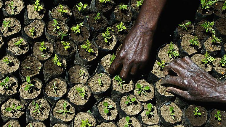 Keniase boeren ontfermen zich over jonge aanplant. Beeld AFP
