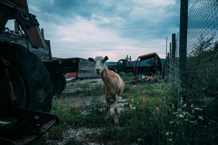 Een geit in de buurt van Luti Brod. Beeld Marlena Waldthausen
