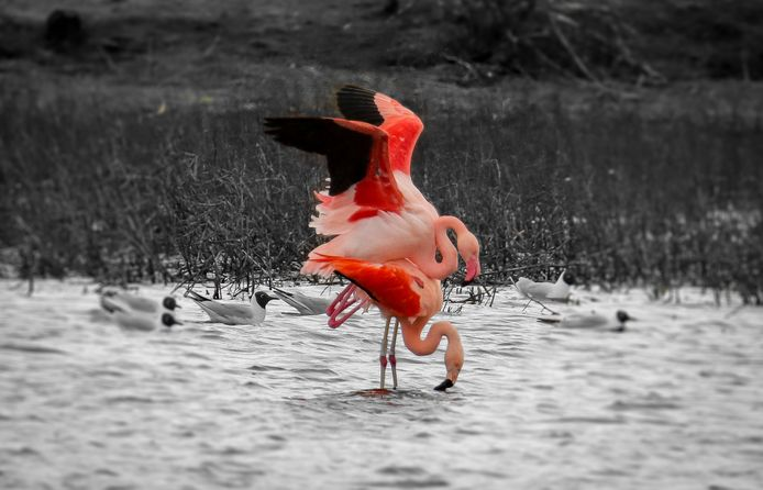 Parende flamingo's in het Zwillbrocker Venn.
