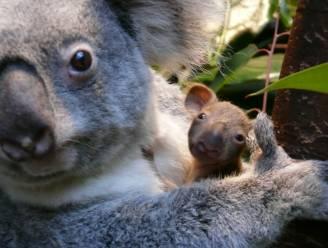 Babykoala komt voor het eerst piepen in Antwerpse zoo