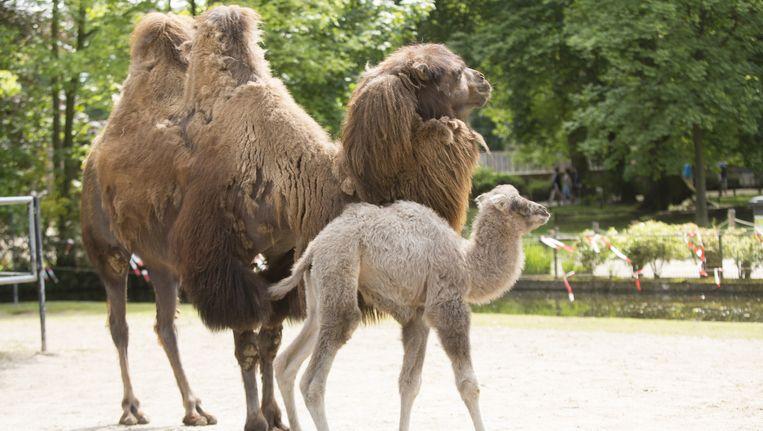 De kleine kameel werd Priscilla gedoopt.