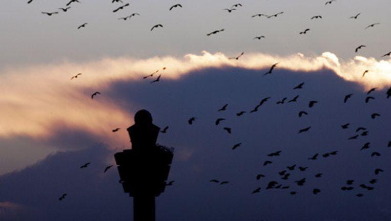 Een zwerm vogels bij Schiphol. Foto ANP Beeld