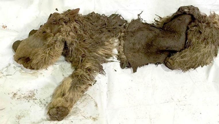 'Sasha', de enige wollige neushoornbaby ter wereld.