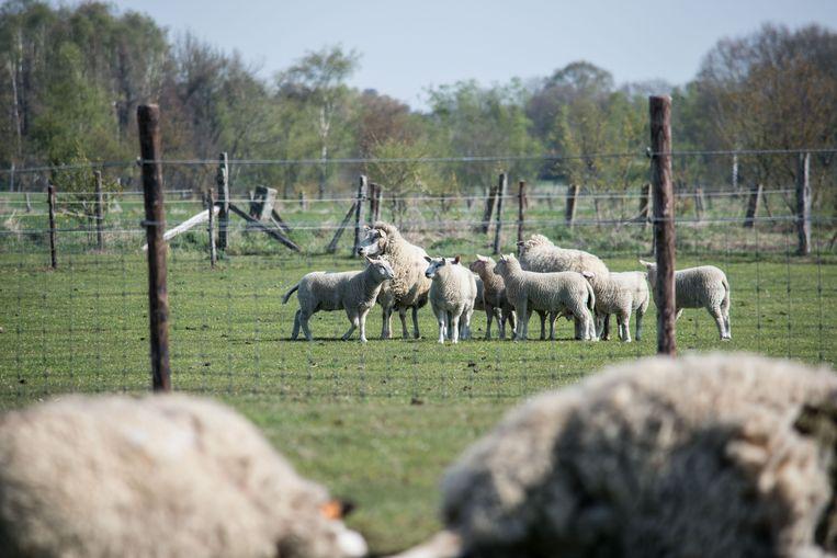 Drie volwassen schapen en twee kleintjes werden doodgebeten door de wolf.