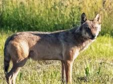'Mogelijk meerdere wolven actief in regio'