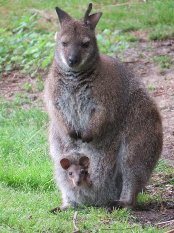 Dierenpark Klundert heeft nog één wallaby. Het had er twee, maar er is er een vergiftigd, zegt beheerder Machiel Crielaard.