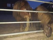 Loslopende pony's gevonden op de provinciale weg N207