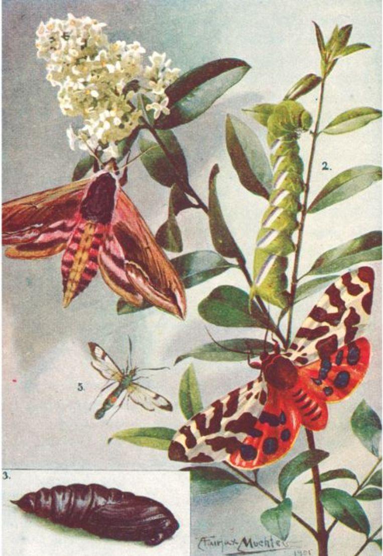 Illustratie uit Arabella Buckleys boek 'Eyes and no Eyes' (1903), die een aantal soorten motten laat zien in hun verschillende ontwikkelingsstadia.  Beeld