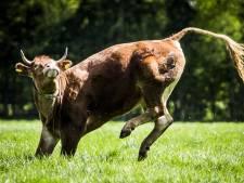Eindelijk kan koe Hermien uit Lettele volop genieten van de vrijheid