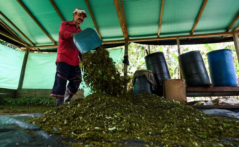 Coca-oogst in Colombia.