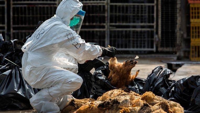 Verdachte kippen worden klaargemaatk voor vernietiging in Hongkong. Beeld REUTERS