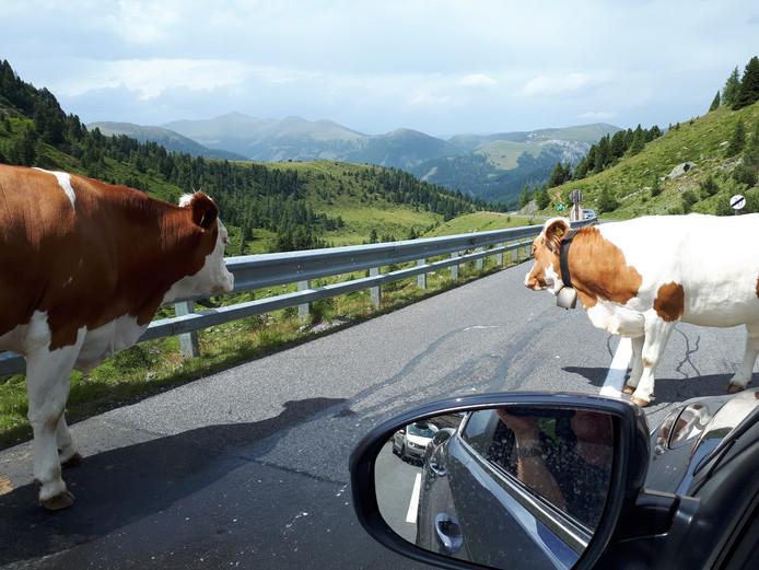 Toet toet! Op de weg in de Oostenrijkse Alpen blokkeren koeien de weg.