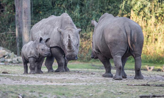Vlak na zijn geboorte maakte de jonge neushoorn kennis met zijn vader. Inmiddels is hij oud genoeg om geheel op eigen benen te staan.