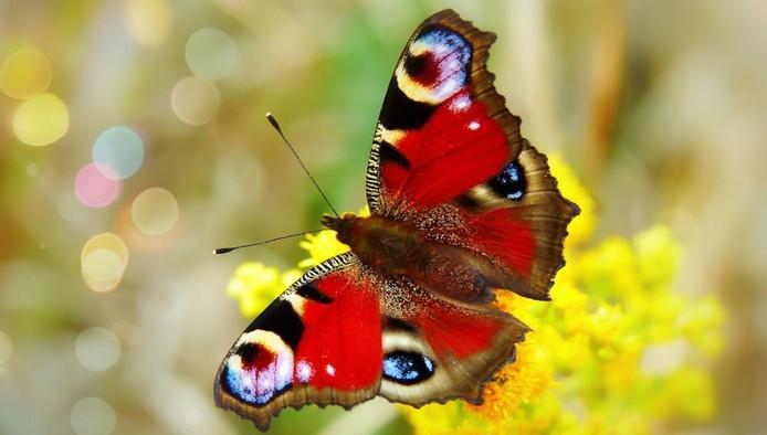 Vlinders kun je lokken met de juiste bloemen en planten in de tuin.