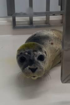 Steeds meer 'Zeeuwse' zeehondenpups bij A Seal