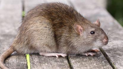 Gemeente deelt geen rattenvergif meer uit, maar zet gespecialiseerde verdelgers aan het werk