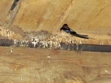 Eerste boerenzwaluw meldt zich op Erve Stokkink in Gelselaar