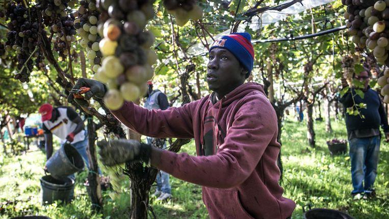 Een migrant plukt druiven. Beeld null
