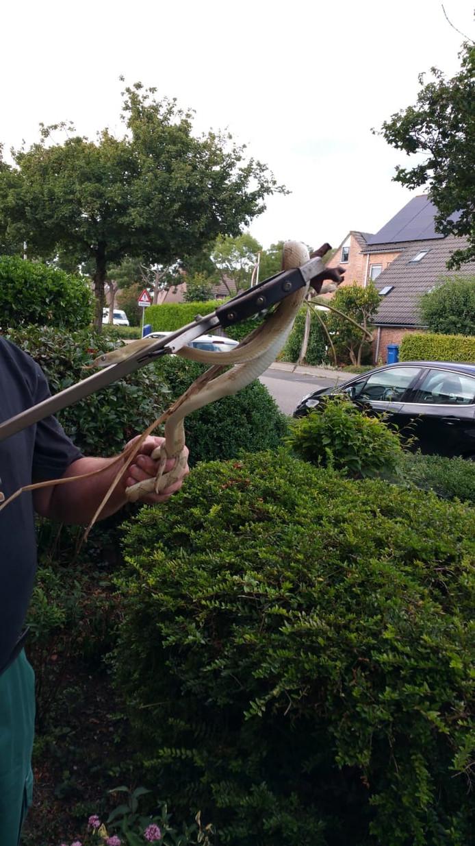 De dit weekend gevangen slang in Zwolle-Zuid