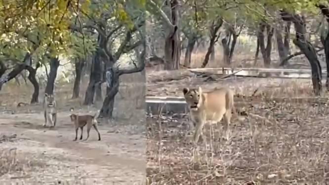 Spectaculair gevecht tussen hond en leeuw