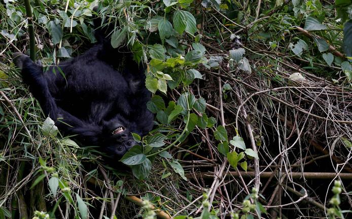 Een baby gorilla speelt in de bossen van Volcanoes National Park  in het Noordwesten van Rwanda. Foto Thomas Mukoya
