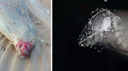 Drie vermoorde zeehonden aangetroffen in Noord-Frankrijk, maar niemand weet wie de daders zijn