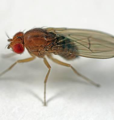 Ook de fruitvlieg wil een zaadlozing, anders gaat hij aan de drank