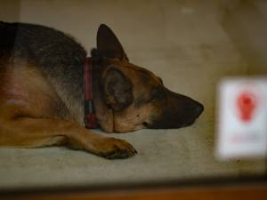 """Le premier chien testé positif au Covid-19 aux États-Unis est mort: """"Il n'y avait rien à faire pour lui"""""""