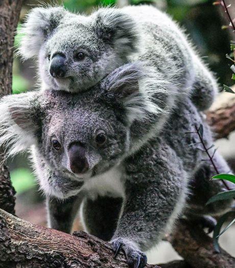 Steeds minder koala's in Australië: uitsterven ligt op de loer