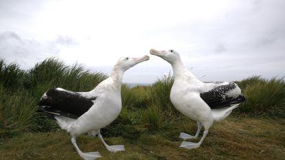 'Reuzenmuizen' doden kuikens van albatros die daardoor dreigt uit te sterven