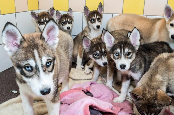 De negen puppy's die in een weiland gedumpt werden in Sint Agatha in de dierenopvang HoKaZo.
