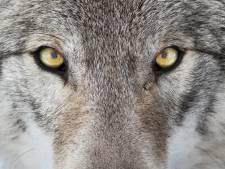 Woeste wolf