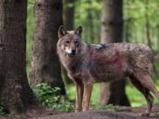Maldense: 'Ik zag 's nachts een wolf in mijn tuin eten'