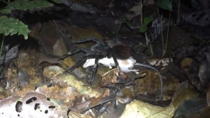 VIDEO. Tarantula met buidelrat op menu is niet voor gevoelige kijkers