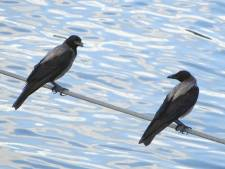 Neproofvogels in Breskens deden hun werk, maar zijn 'gevlogen'