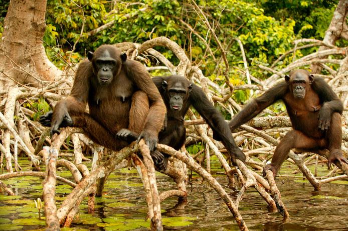 Chimpansees worden in Congo in Centraal-Afrika vaak gedood door stropers. Het vlees wordt op grote schaal in de republiek gegeten maar ook geëxporteerd naar bijvoorbeeld Europese landen.