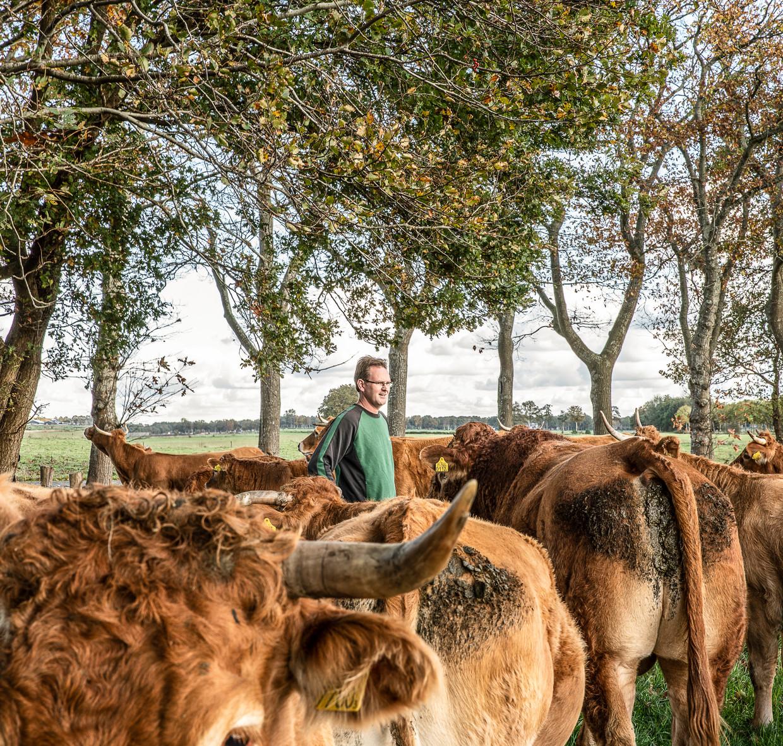 Nederland Ansen 20191029 Biologische boer in dienst van het Drents Landschap met zijn Limousins op landgoed Rheebruggen  foto Harry Cock/de Volkskrant