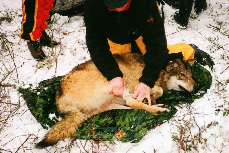 Een wolf in Noorwegen krijgt een tracker, archiefbeeld.