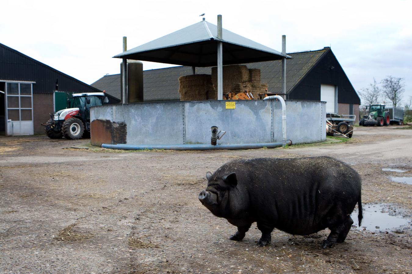 Een hangbuikzwijn loopt rond op een bedrijf met duurzame veehouderij.