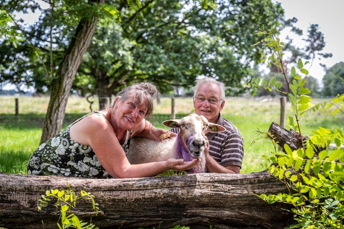 Dit schaap van Mieke en Hans van Lieshout overleefde een aanval van een hond. Het paarse poeder is een middel om de wonden te verzorgen.