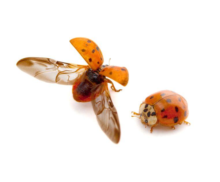 Veelkleurig Aziatisch lieveheersbeestje Beeld Shutterstock