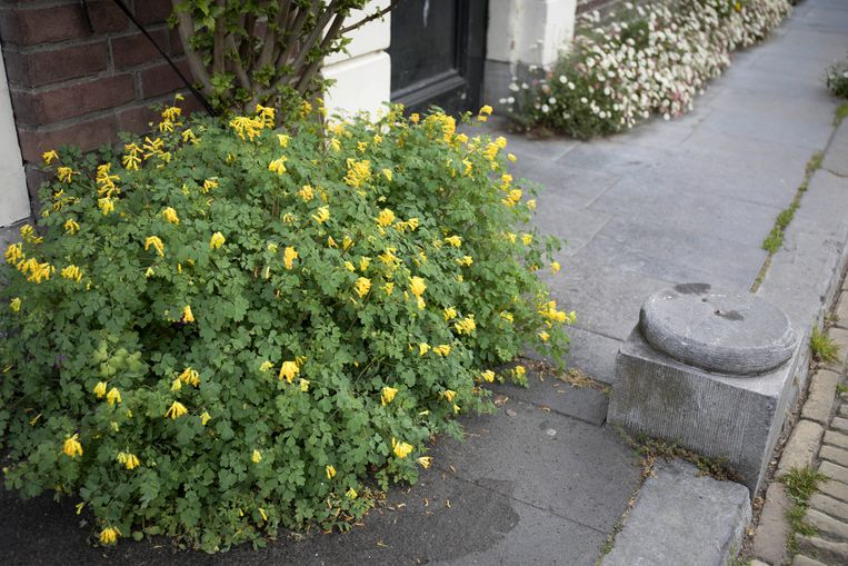 Gele helmbloem, een rotsplant uit de zuidelijke Alpen. In 1840 aangetroffen in Maastricht 'op een zeer ouden muur', daarna volgde Utrecht in 1842. Beeld Werry Crone